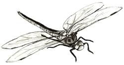 Рисунки животных - Стрекоза