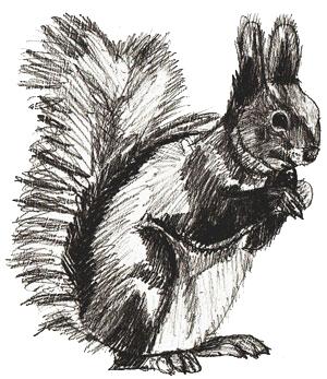 Рисунок белки карандашом, шаг 6
