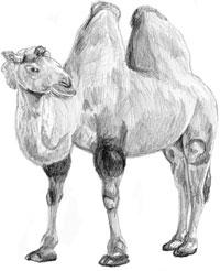 Рисунок верблюда