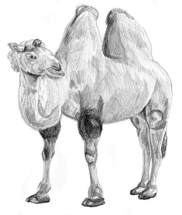 Как нарисовать <strong>верблюда</strong> верблюда поэтапно