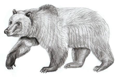 Как нарисовать медведя, шаг 6