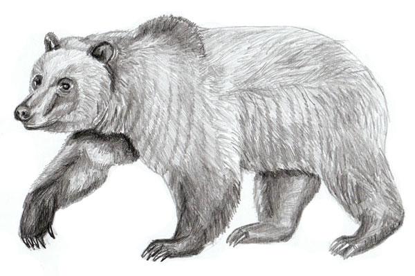Как нарисовать медведя поэтапно