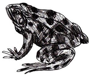 Как нарисовать лягушку карандашом как научиться рисовать карандашом Как рисовать как рисовать животных
