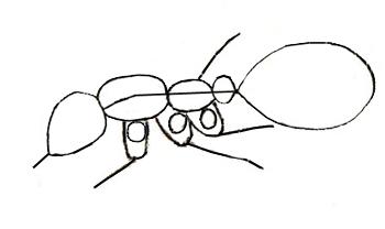 Как нарисовать муравья, шаг 3