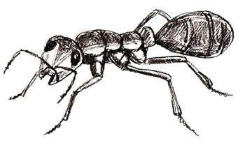 Как нарисовать муравья, шаг 6