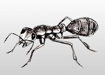 Как нарисовать муравья | Рисунок муравья поэтапно: http://www.lookmi.ru/kak-narisovat-muravja.html