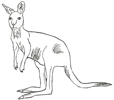 Как нарисовать кенгуру, шаг 5