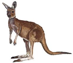 Рисунки животных - Кенгуру