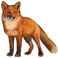 Рисунки животных - Лиса