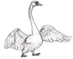 Рисунки птиц - Лебедь