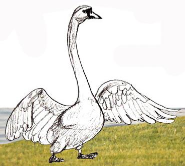 Как нарисовать лебедя поэтапно