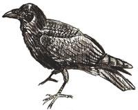 Рисунки птиц - Ворона