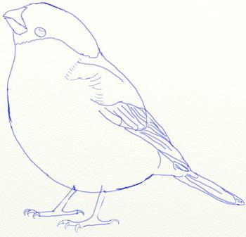 Как нарисовать снегиря, шаг 5