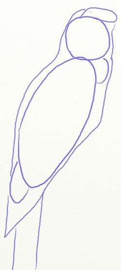 Как нарисовать попугая, шаг 2