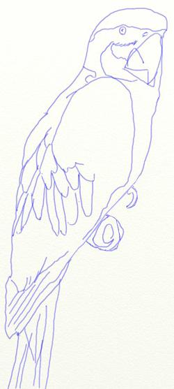 Как нарисовать попугая, шаг 4