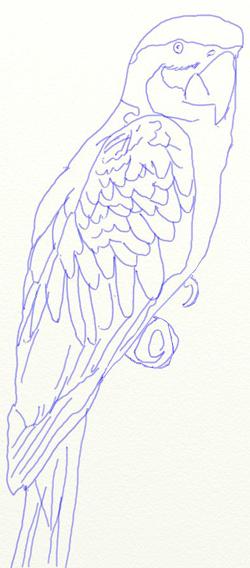 Как нарисовать попугая, шаг 5