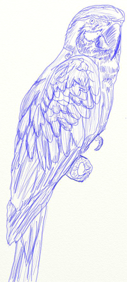 Как нарисовать попугая, шаг 6