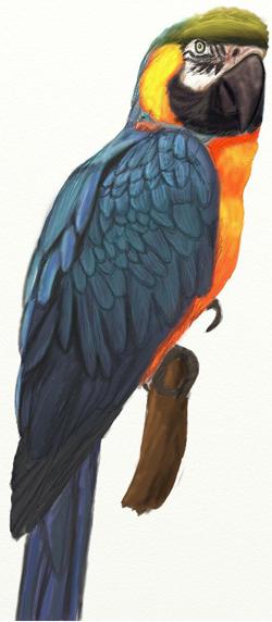 Попугай ара карандашом