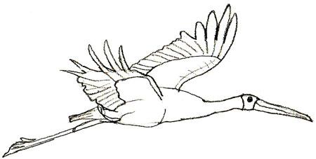 Как нарисовать аиста, шаг 5