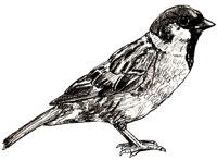 Рисунки птиц - Воробей