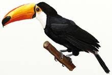 Рисунки птиц - Тукан
