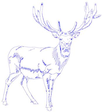 Как нарисовать оленя, шаг 5