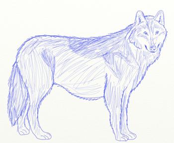 Как нарисовать волка, шаг 5