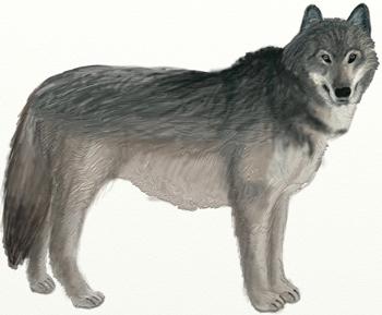 Как нарисовать волка, шаг 6