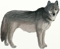 Рисунки животных - Волк