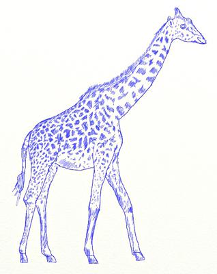 Как нарисовать жирафа, шаг 6