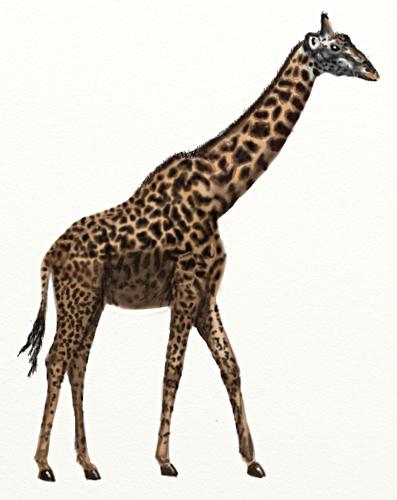 жираф рисунок: