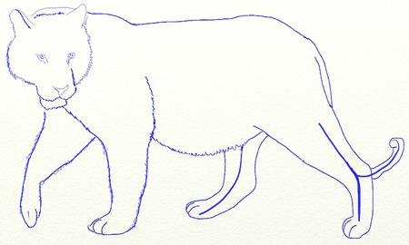 Как нарисовать тигра, шаг 5