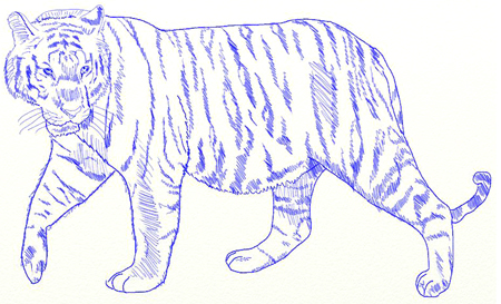 malayan tiger drawing - photo #32