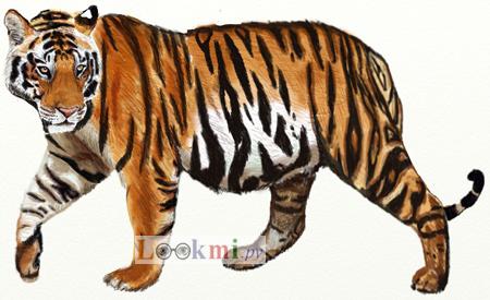 Как нарисовать тигра, шаг 7