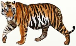 Рисунки животных - Тигр