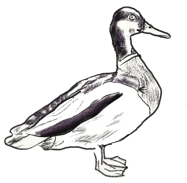 Рисунок утки на графическом планшете, шаг 6