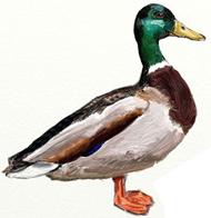 Рисунки птиц - Утка