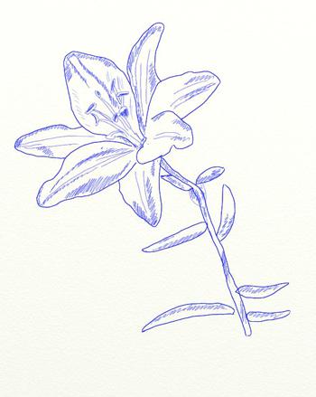 Как нарисовать лилию, шаг 6