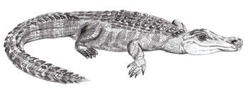 Рисунки животных - Крокодил