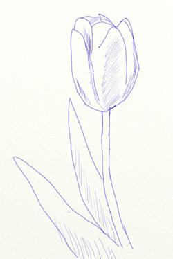 Как нарисовать тюльпан, шаг 4