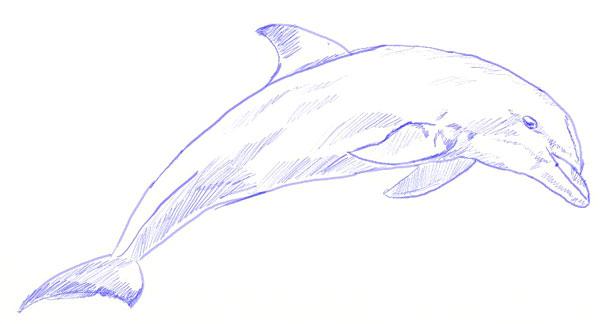 Как нарисовать дельфина, шаг 6